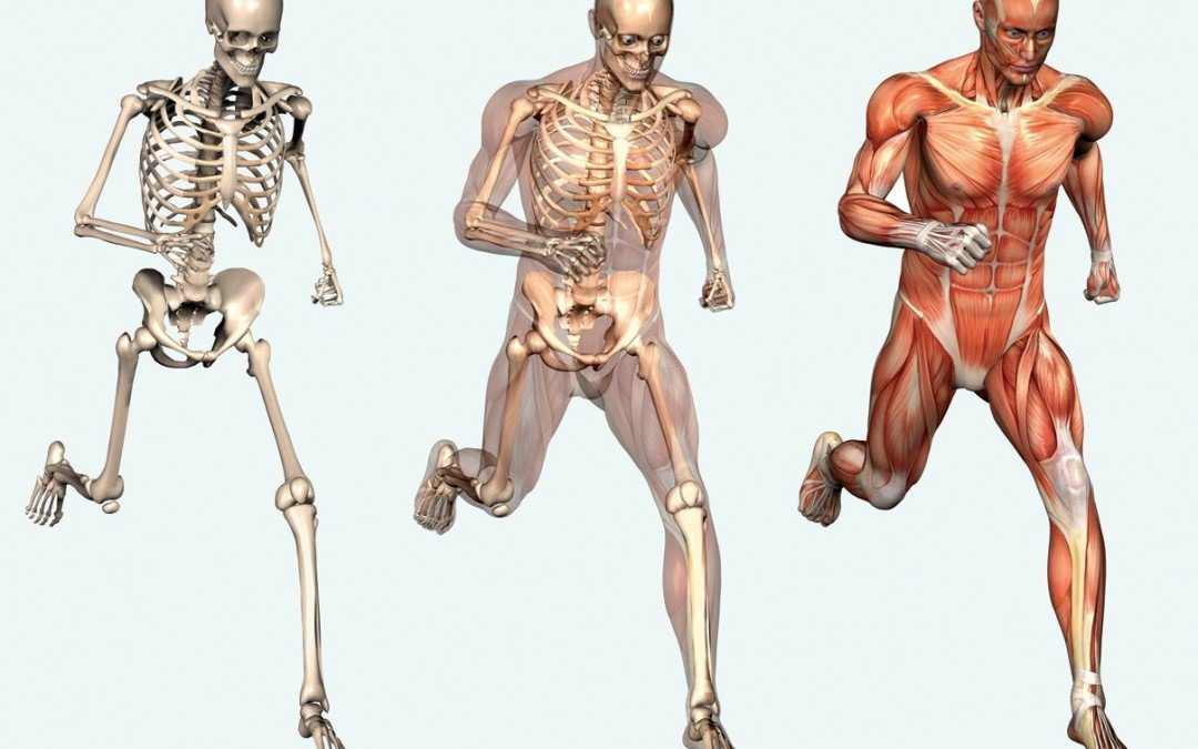 bones muscles Muscles and bones also use hormones to communicate with each other, and other systems throughout the body muscles and bones are part of an incredibly complex and holistic system of hormones, nerves, and other tissues that communicate in complex ways we've only just begun to understand.